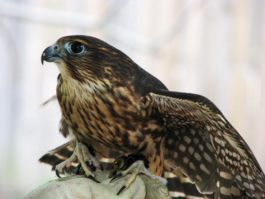 Falcon Stock 4: Merlin by HOTNStock