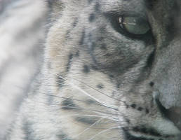 Snow Leopard Stock 11 by HOTNStock