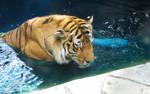 Amur Tiger Stock 3