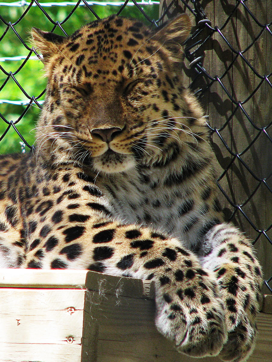Amur Leopard Stock 7