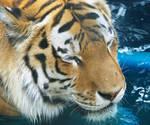 Amur Tiger Stock 4