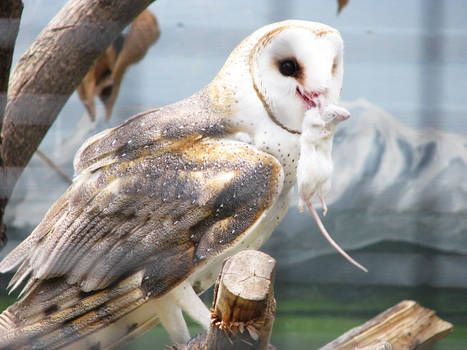 Owl Stock 5: Barn Owl
