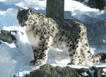 Snow Leopard Stock 14