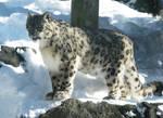 Snow Leopard Stock 14