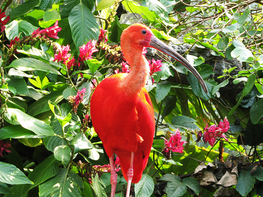 Bird Stock 4: Scarlet Ibis by HOTNStock