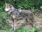 Mexican Wolf Stock 3