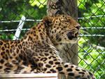 Amur Leopard Stock 8