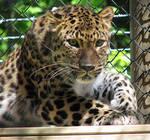 Amur Leopard Stock 10