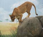 Lion Stock 9