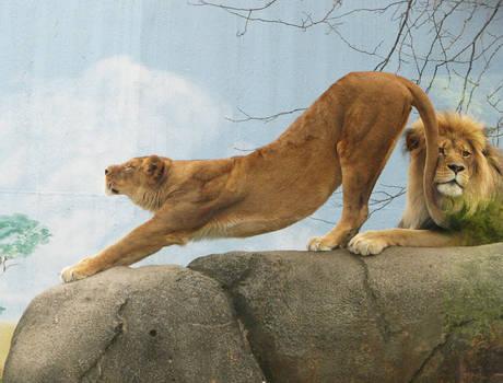 Lion Stock 12
