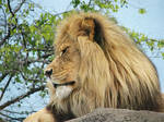 Lion Stock 16