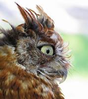 Owl Stock 6: Eastern Screech by HOTNStock