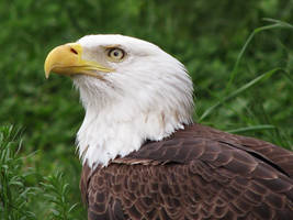 Bald Eagle Stock 2 by HOTNStock