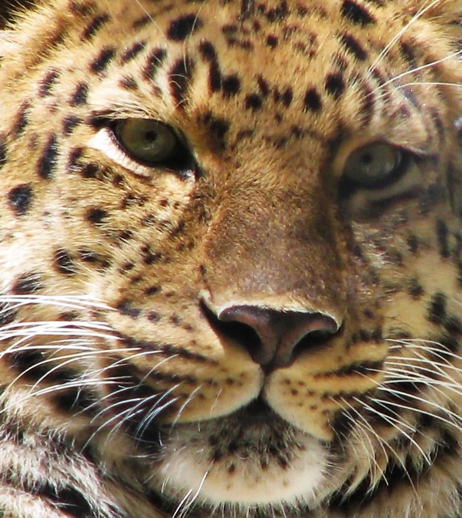Amur Leopard Stock 11