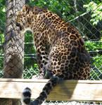 Amur Leopard Stock 12