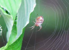 Spider Stock 2