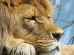 Lion Stock 19