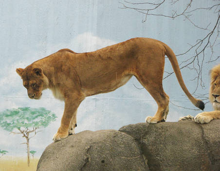 Lion Stock 22