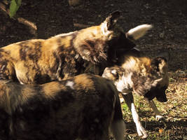 African Wild Dog Stock 9