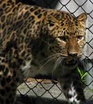 Amur Leopard Stock 13