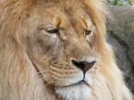 Lion Stock 24