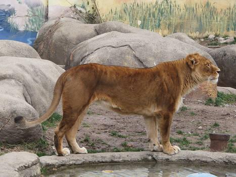 Lion Stock 25