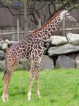 Giraffe Stock 1: Baby