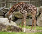 Giraffe Stock 3: Baby