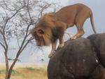 Lion Stock 27