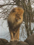 Lion Stock 28