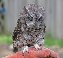 Owl Stock 8: Eastern Screech by HOTNStock