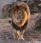 Lion Stock 29