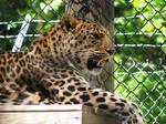 Amur Leopard Stock 14