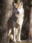 Mexican Wolf Stock 8