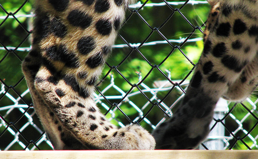 Paw Stock 19: Amur Leopard by HOTNStock