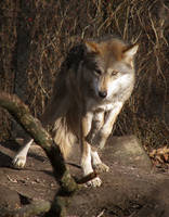 Mexican Wolf Stock 9 by HOTNStock
