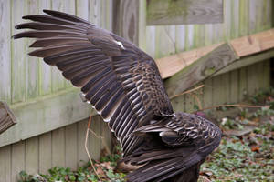 Turkey Vulture Stock 1: Wing by HOTNStock