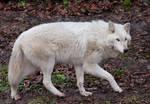 White Wolf Stock 12