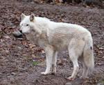 White Wolf Stock 21