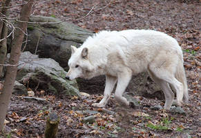White Wolf Stock 20 by HOTNStock