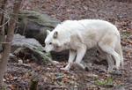 White Wolf Stock 20