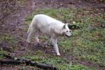White Wolf Stock 19
