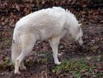 White Wolf Stock 18
