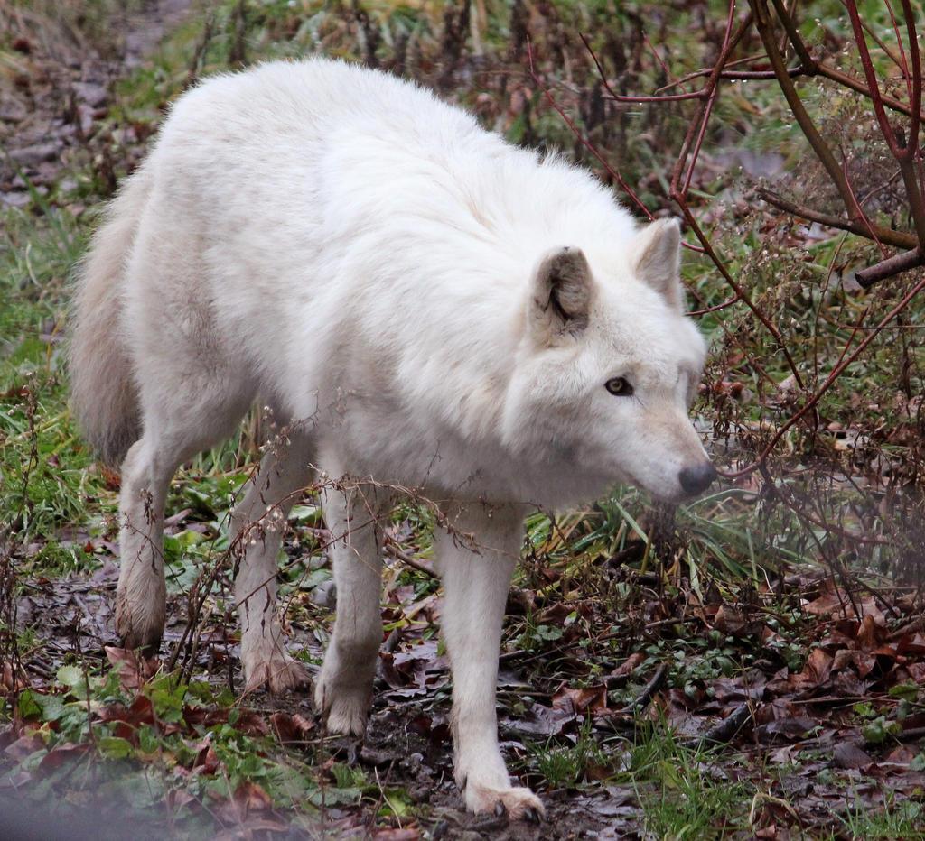 White Wolf Stock 16