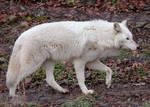 White Wolf Stock 15
