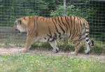 Amur Tiger Stock 9
