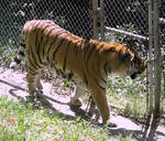Amur Tiger Stock 10