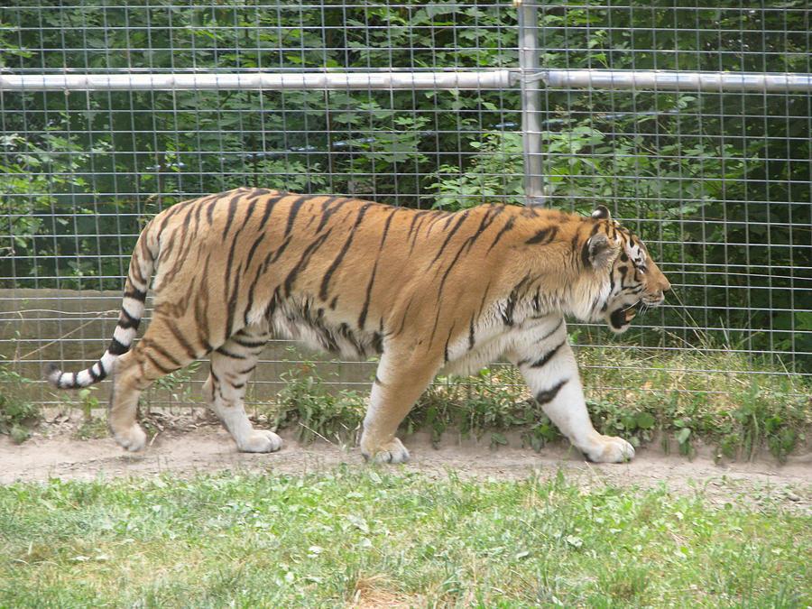 Amur Tiger Stock 11