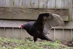 Turkey Vulture Stock 3: Wing