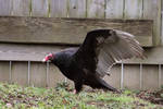 Turkey Vulture Stock 3: Wing by HOTNStock
